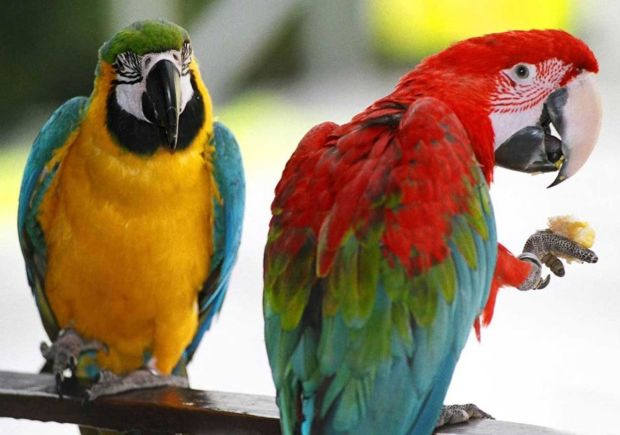 australianparrots-crop